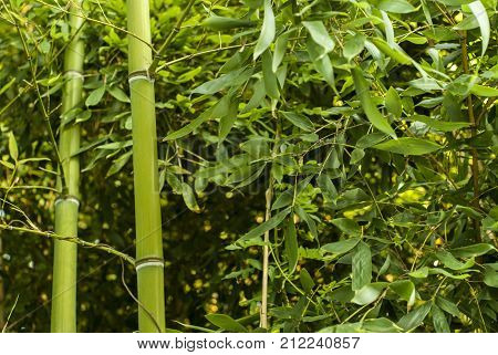 dense green sunlit vegetation thicket with two bamboo stalks in the foreground