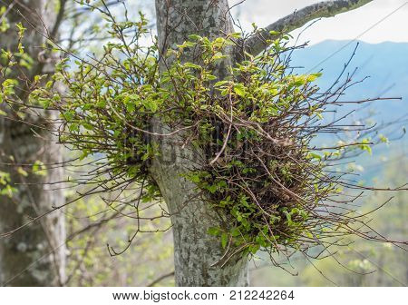 Young Green Shoots And Branch In The Adult Tree.