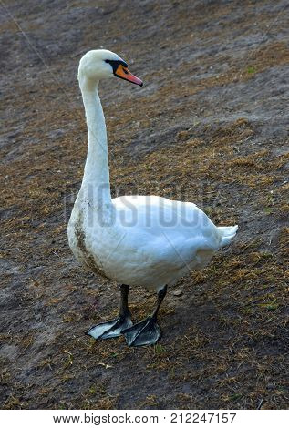Adult Mute Swan (Cygnus olor) stands on the shore of an artificial pond