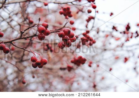 Hawthorn berries in winter. Red berries in the cold. Clusters of hawthorn on the wind. Hawthorn berries on the sky. The Bush of Hawthorn in autumn. Winter berries
