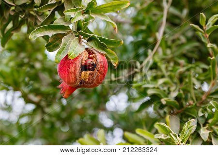 A Red overripe pomegranate on his tree