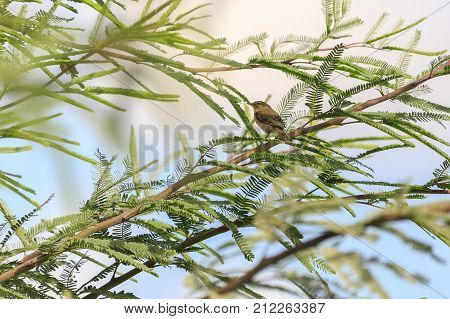 Asian Desert Warbler On A Tree