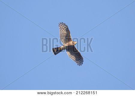 Adult Sharp-shinned Hawk (Accipiter striatus) flying against a blue sky