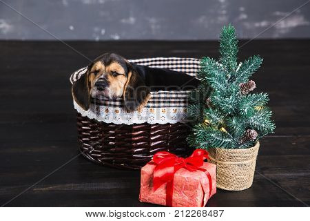One beagle puppies in the basket. Young beagle puppy sniffing gift box with red bow. Christmas tree next to a dog