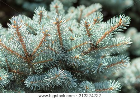 Branch of Colorado blue spruce or Picea pungens with needle-like leaves. Close-up stock photo.