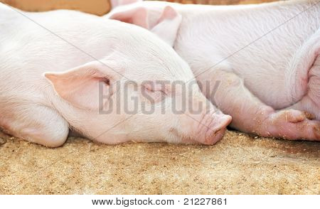 young sleeping pig after sucking in shed