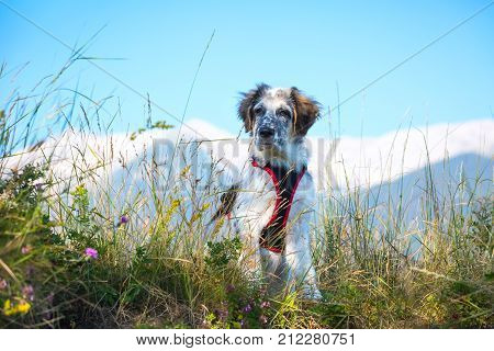 white and black fuzzy dog sitting in green grass and high mountains at background, freedom travel concept, copy space