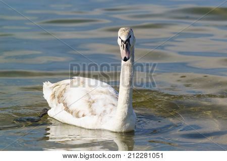 Young mute Swan (lat. Cygnus olor) with colorful feathers and a pale beak on the blue water