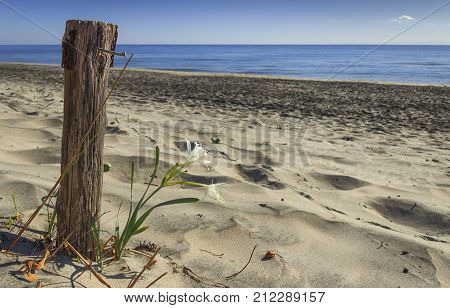 lonely flower on the sandy beach next to a nailed wooden pole. Summer wildflowers. Alimini beach: Pancratium Maritimum, or Sea Daffodil.Salento (Apulia)