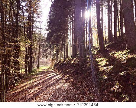 Autumn Natural Fir Forest In Rheinland Pfalz