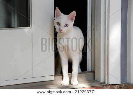 Small white kitten with heterochromia eyes standing at sliding glass door backyard peaking out curious but cautious and timid. Looking at viewer