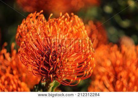 Red Pincushion Protea (Leucospermum cordifolium) is a shrub native to South Africa - bright