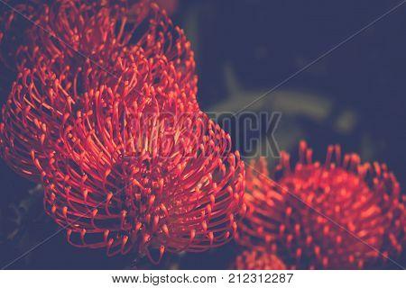 Red Pincushion Protea (Leucospermum cordifolium) is a shrub native to South Africa - soft haze