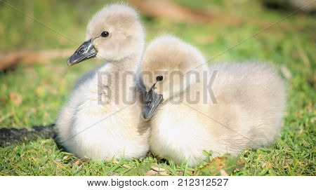 Close up image of a pair of soft cute Black Swan Cygnets (Cygnus atratus)