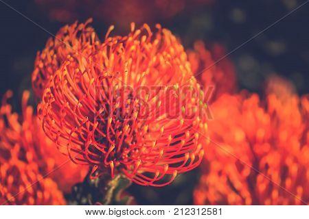 Red Pincushion Protea (Leucospermum cordifolium) is a shrub native to South Africa - soft