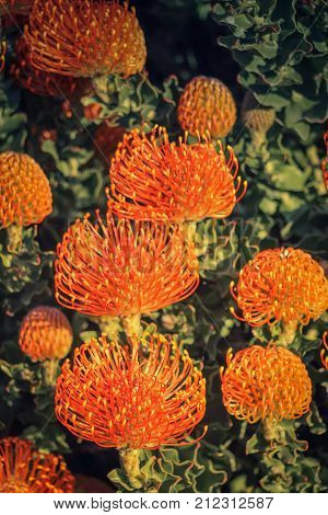 Red Pincushion Protea (Leucospermum cordifolium) is a shrub native to South Africa