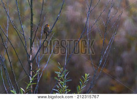 small european robin, Erithacus rubecula, redbreast in a tree, Geneva, Switzerland