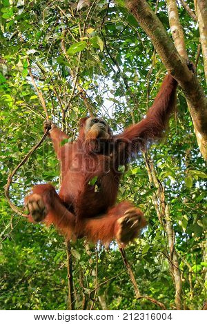 Female Sumatran Orangutan Hanging In The Trees, Gunung Leuser National Park, Sumatra, Indonesia