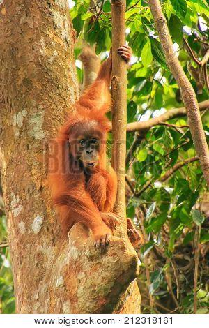 Young Sumatran Orangutan Sitting On Trees In Gunung Leuser National Park, Sumatra, Indonesia