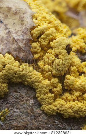 Fuligo septica mushrooms (slime mould) on an old stump poster