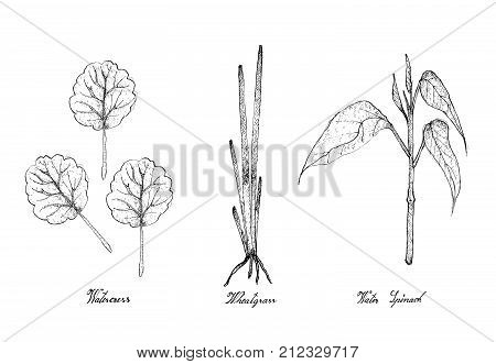 Hand Drawn Sketch Delicious Fresh Green Watercress, Wheatgrass and Water Spinach Plants Isolated on White Background.