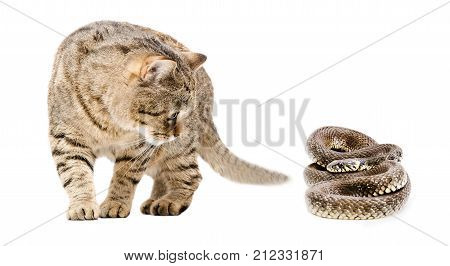 Curious cat and snake isolated on white background