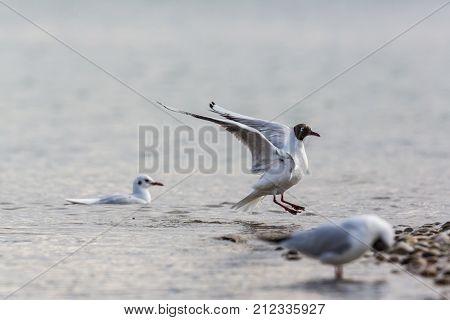 Black-headed Gull (larus Ridibundus) Landing On Beach
