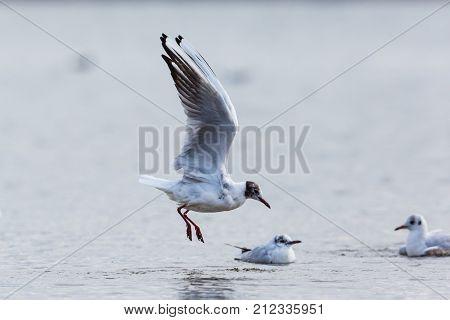 One Black-headed Gull (larus Ridibundus) Landing In Water