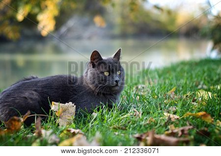 Gray cat lying on green grass with yellow leaves. Stock photo.