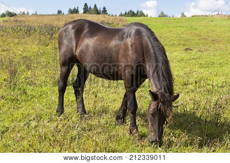 To Tether chain steed is grazed in a field