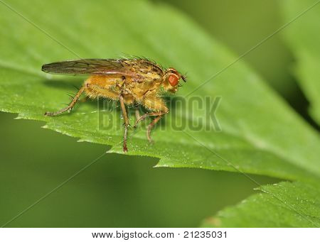 Bee Like Tachinid Fly