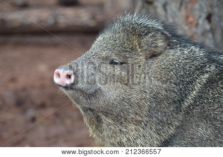 Adorable close up photo of the face of a javerline pig