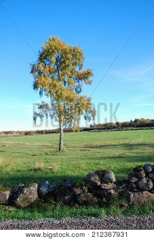 Colorful birch tree in a green field by fall season