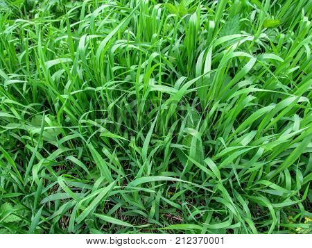 Texture grass of the Elymus repens close-up - top view. A lot of green juicy grass stalks with long leaves