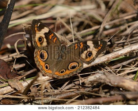 A Common Buckeye (Junonia coenia) a  butterfly, suns itself on straw, in Taneytown, Carroll County Maryland, USA.