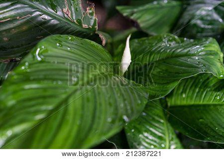 spathiphyllum floribundum araceae plant leaf from columbia botany poster
