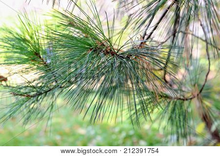 Fluffy pine branch in the park in the estate of Count Leo Tolstoy in Yasnaya Polyana.