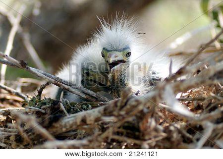 Baby Egret Birds