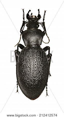 Leather Beetle on white Background - Carabus coriaceus (Linnaeus 1758)