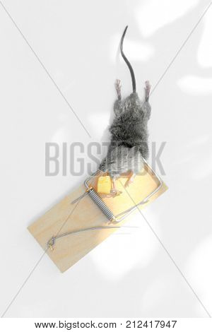 Dead mouse caught in snap trap, on white background