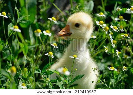 small yellow gosling in green grass and flowering daisies. Copy space