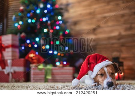 dog jack russel under a Christmas tree in santa red  hat with gifts and candles celebrating Christmas