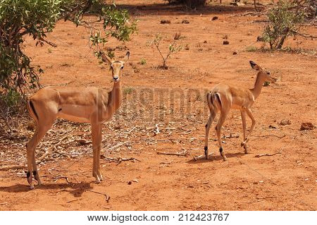 Impala Calve in Africa Safari Tsavo National Park Kenya poster