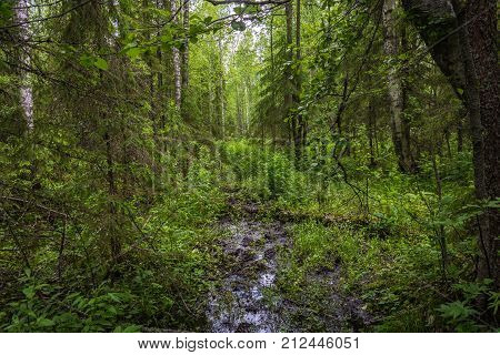 Hardly trampled forest road in dense green thickets.