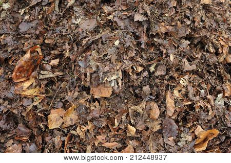 Recycling leaves partly rotted autumn fall garden leaves forming leafmould for use in the garden as a potting mix or mulching material or adding to the compost heap.
