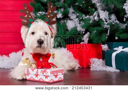 Decorated west highland white terrier dog as symbol of 2018 New Year with red bow tie decorative bows and christmas deer horn and christmas pine tree with gifts on background