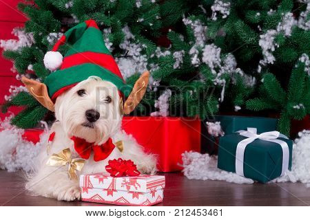 Decorated west highland white terrier dog as symbol of 2018 New Year with red bow tie decorative bows and green elf hat with big ears and christmas pine tree with gifts on background