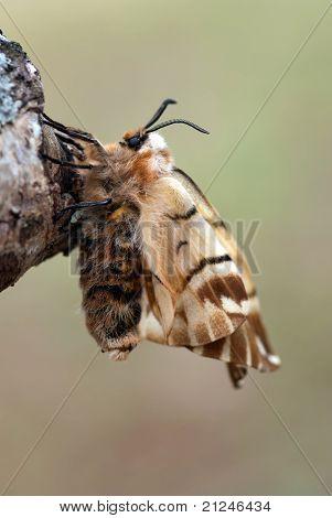 The Silkworm Moth