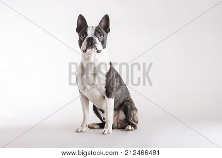 Loyal Boston Terrier Watching Looking Upwards