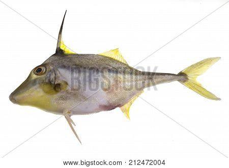 Yellowfin tripodfish Tripodichthys angustifrons is a fish with two long and hard spines on the bottom and one on top as part of the dorsal fin. It also has a very rough skin.